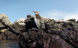 Galapagos Penguin at Los Tuneles, Isla Isabela (photo by Trent)