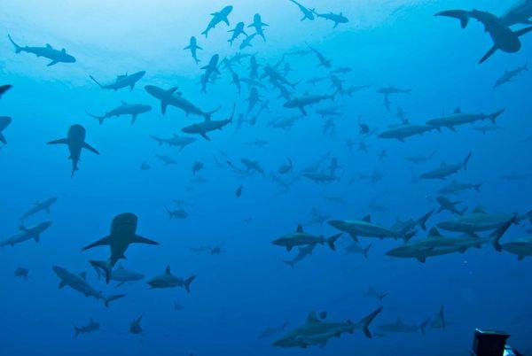 fakarava-sharks